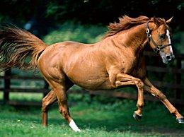全球最贵的马种 大斑:最高售价4亿元