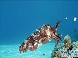世界上最大的无脊椎动物国王 酸鱿鱼 太大了 不能吃