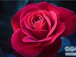 世界上十朵最美的玫瑰 情人间最好的礼物