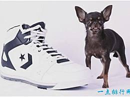 世界上最小的狗 长度不到10厘米 没有鞋子那么大