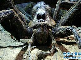 算上世界上最大的蜘蛛 吃鸟会立即杀死人