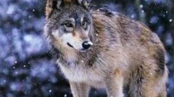 世界上最强大的狼 顶级捕食者基奈・山狼(2.2米/210公斤)