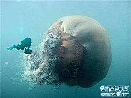北极霞水母体型庞大 海龟是它们的天敌