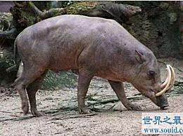 世界上最奇怪的猪 不到4000只