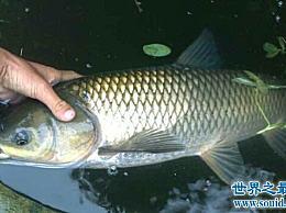 四条大鱼中哪一条是美味的?每种鱼都有不同的味道