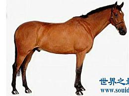 纯种马是一种强壮的马 通常用于比赛