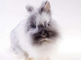 排名最受欢迎的兔子品种公主兔有最优雅的气质