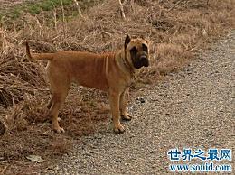 金丝雀狗是一种非常凶猛的狗 被禁止