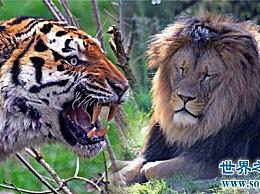 世界上最大的狮子近300斤,因过度捕杀而灭亡