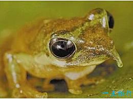 世界上最神奇的青蛙 皮诺奇青蛙会在它鸣叫时长出鼻子
