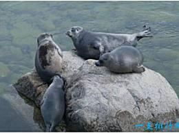 世界上最小的海豹 贝加尔海豹大约1米长 生活在淡水中