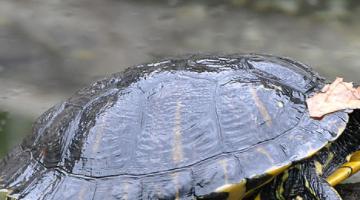 最有灵性的龟排名 巴西龟位列第一名