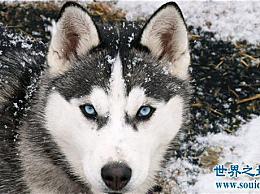 雪橇三个傻瓜是工作犬 哈士奇是三个傻瓜中最愚蠢的