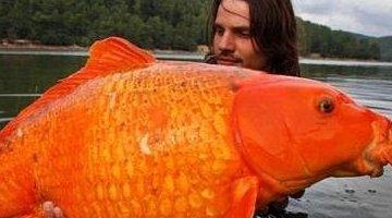 世界上最大的金鱼 重13.61公斤