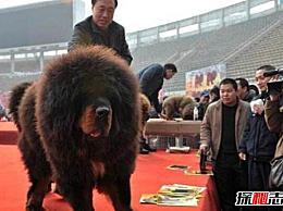 中国十大藏獒排行榜 第一条藏獒是最好/最著名的藏獒