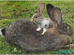 世界上最大的兔子 体长1.22米 每年的食物支出为25000元