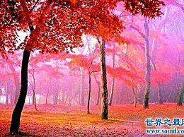 枫树 世界上最甜的树 含糖量高达85%(比蜂蜜还甜)