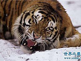 世界上最大的老虎 西伯利亚虎长2.8米(重350公斤)