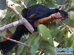 巨型松鼠就像生活在天然森林中的猫 现在已经很稀有了