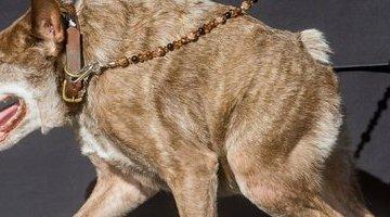 世界上最丑的狗:卡西莫多(照片)