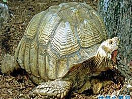 世界上最大的龟 加拉帕戈斯龟 驾驭着世界!