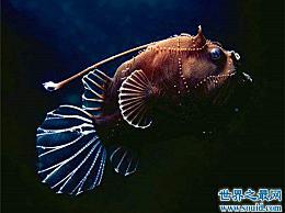 深海琵琶鱼看起来很丑 吃的食物是它的两倍