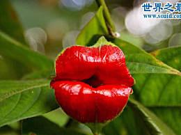 世界上最性感的花 唇花(忍不住亲吻它)