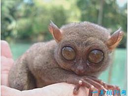 世界上眼睛最大的猴子 眼镜猴的眼睛直径超过1厘米