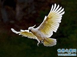 向日葵鹦鹉数量众多 是世界上寿命最长的鹦鹉!