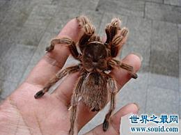 推荐最好的宠物蜘蛛品种 喜欢养宠物的朋友都看过了!