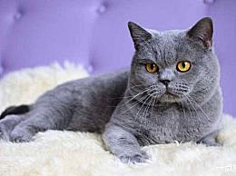 宠物猫品种大全世界十大名猫名录