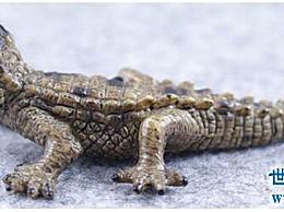 世界上最小的鳄鱼 让我们进入非洲侏儒鳄鱼的传奇鳄鱼生活吧!
