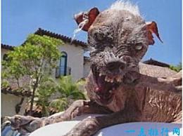 世界上最丑的狗 头发稀少 肉松散 看起来很可怕