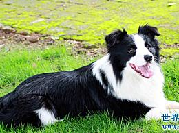 你的狗是天才狗吗――计算狗的智商排名