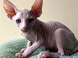 加拿大无毛猫有光滑的皮肤 这是很难饲养和昂贵的