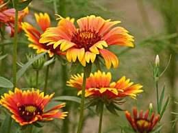 菊花的栽培方法及注意事项