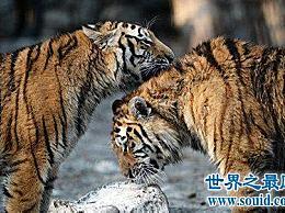 地球上最小的老虎――爪哇虎-人-虎战争导致了它的灭绝