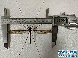 世界上最大的蚊子是哪种 它不仅不吸血 还吃幼虫