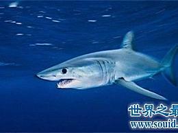 不要被灰鲨的外表所欺骗 原来 它是如此的凶猛