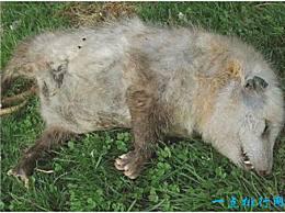 世界上最致命的动物 当负鼠假装死亡时 它的呼吸和心跳都会停止
