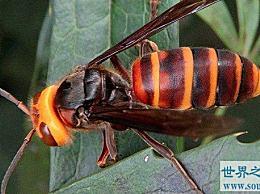 世界上最大的黄蜂是普通黄蜂的两倍大