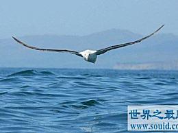 世界上飞行能力最强的鸟,可以在空中好几个小时不拍动翅膀