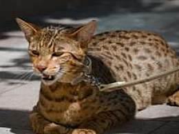 最昂贵的猫品种的名单 最昂贵的一个实际上花费10万美元!