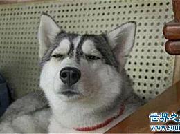 想知道哈士奇和狼的区别吗?如何区分狼和爱斯基摩犬