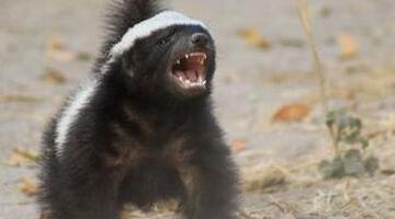 世界上最无畏的动物 平头蜜獾(看谁咬谁)