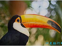 巨嘴鸟是世界上最大的鸟 它的嘴长达24厘米 几乎是其长度的一半