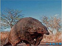 世界上最大的穿山甲 重达33公斤