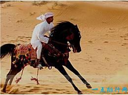 世界上最古老的马 阿拉伯马有4500年的历史