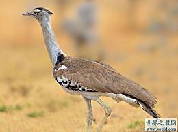 世界上最大的鸟 灰颈白鹭 也被称为科利鸟
