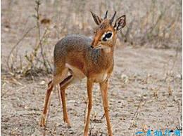 世界上最小的羚羊 狗羚羊不到半米高 另一边在配偶死后会因压力而死